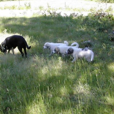 Livestock Guardian Dogs on a Small Family Farm – the series