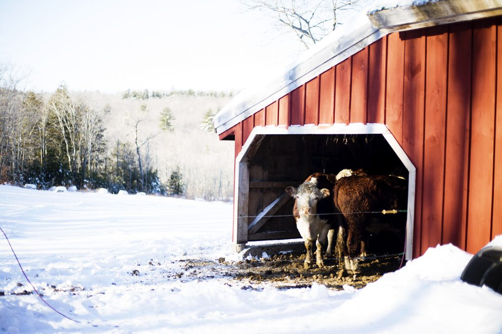 Cows in the Snow | Mighty Oaks Farm Maine