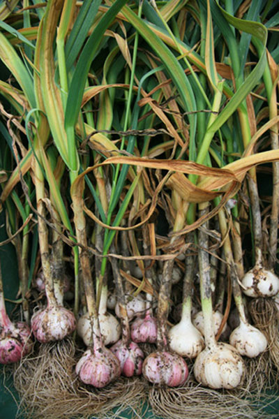Fresh Garlic Bulbs - Edibles Anyone Can Grow