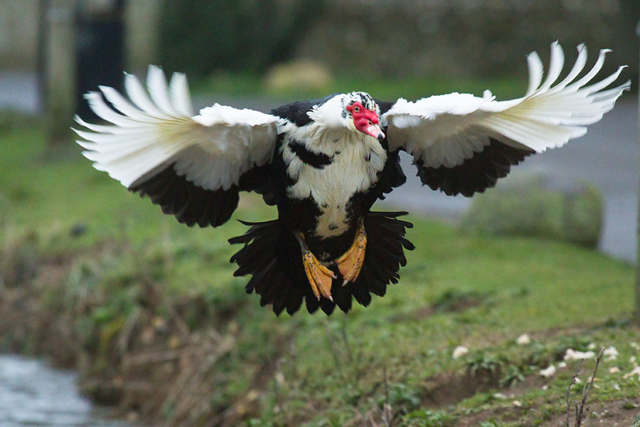 Dual-purpose Farm Animal - Muscovy Duck