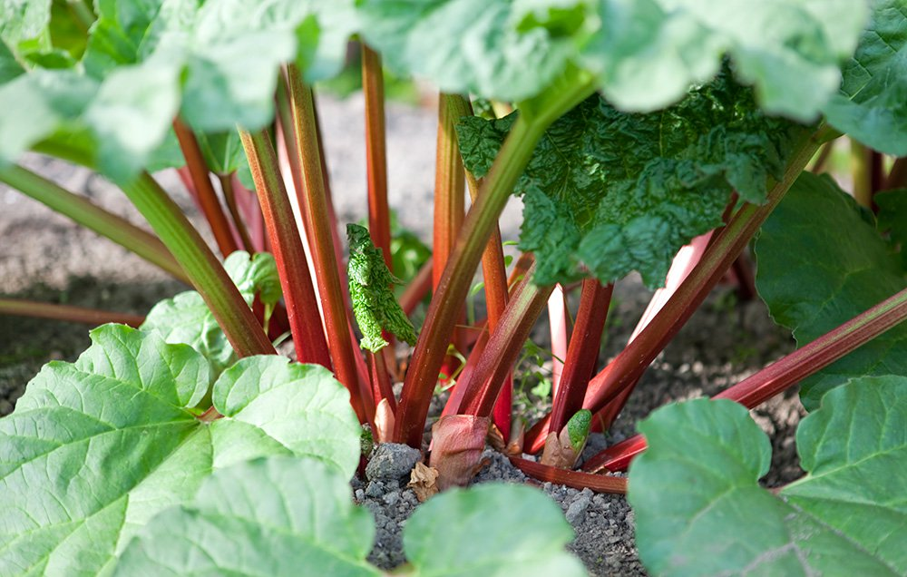 Rhubarb - Edibles Anyone Can Grow