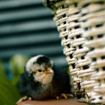 The Best Time To Get Baby Chicks
